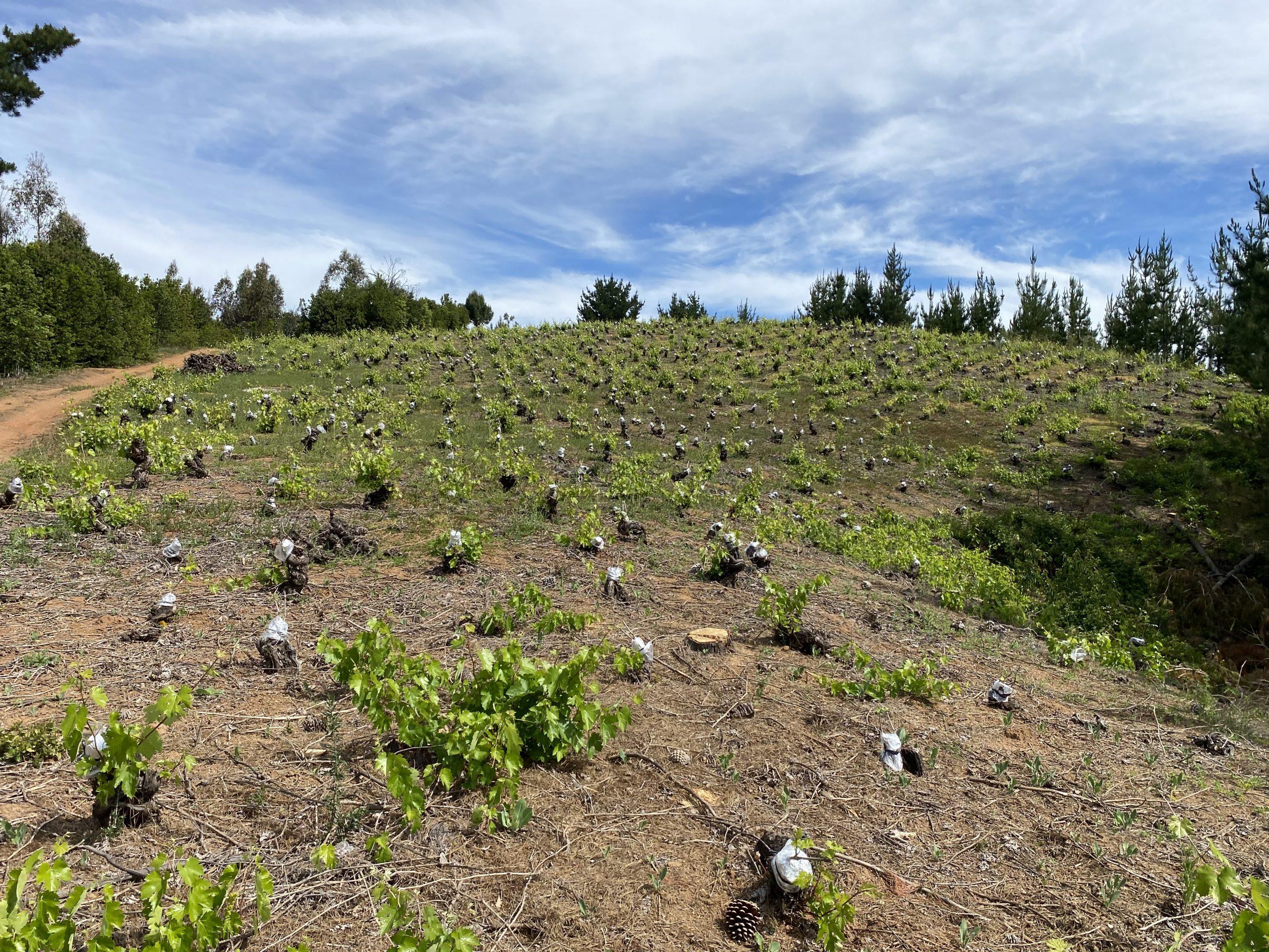 Injertando sobre antiguas parras en el Valle del Itata