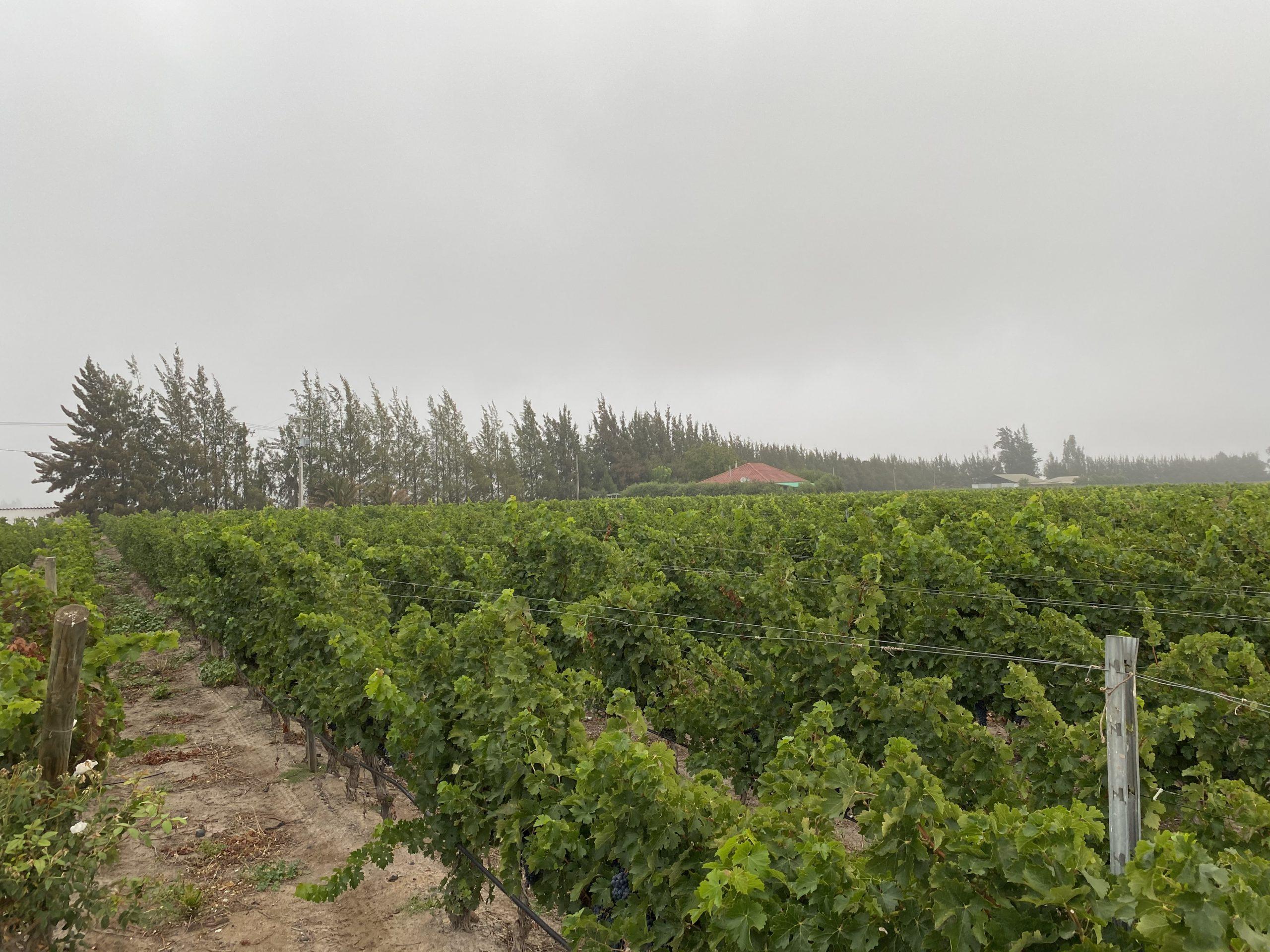 Inesperadas lluvias de verano cayeron en las principales zonas de viñedos de Chile